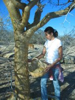Harvesting the naturally peeling bark of the Torote tree.